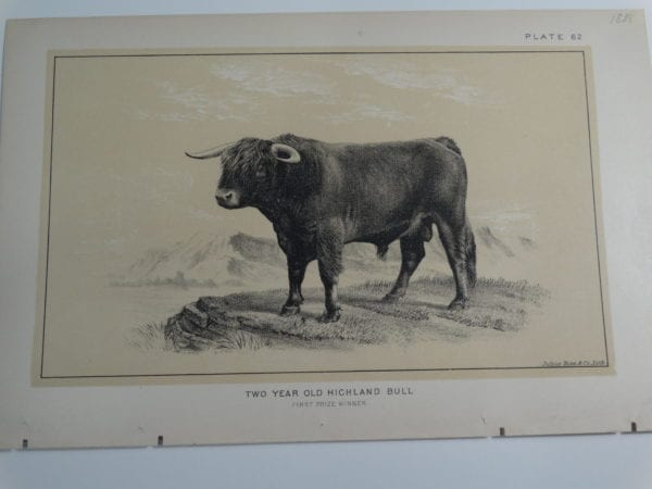 an 1888 lithograph of a Two Year Old Highland Bull