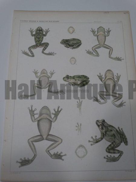 USMB Frogs Plate 38 $45.