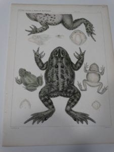USMB Frogs Plate 39 $60.