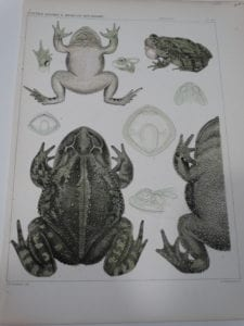 USMB Frogs plate 40 $60.