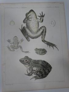 USPRR Frogs Plate X $60