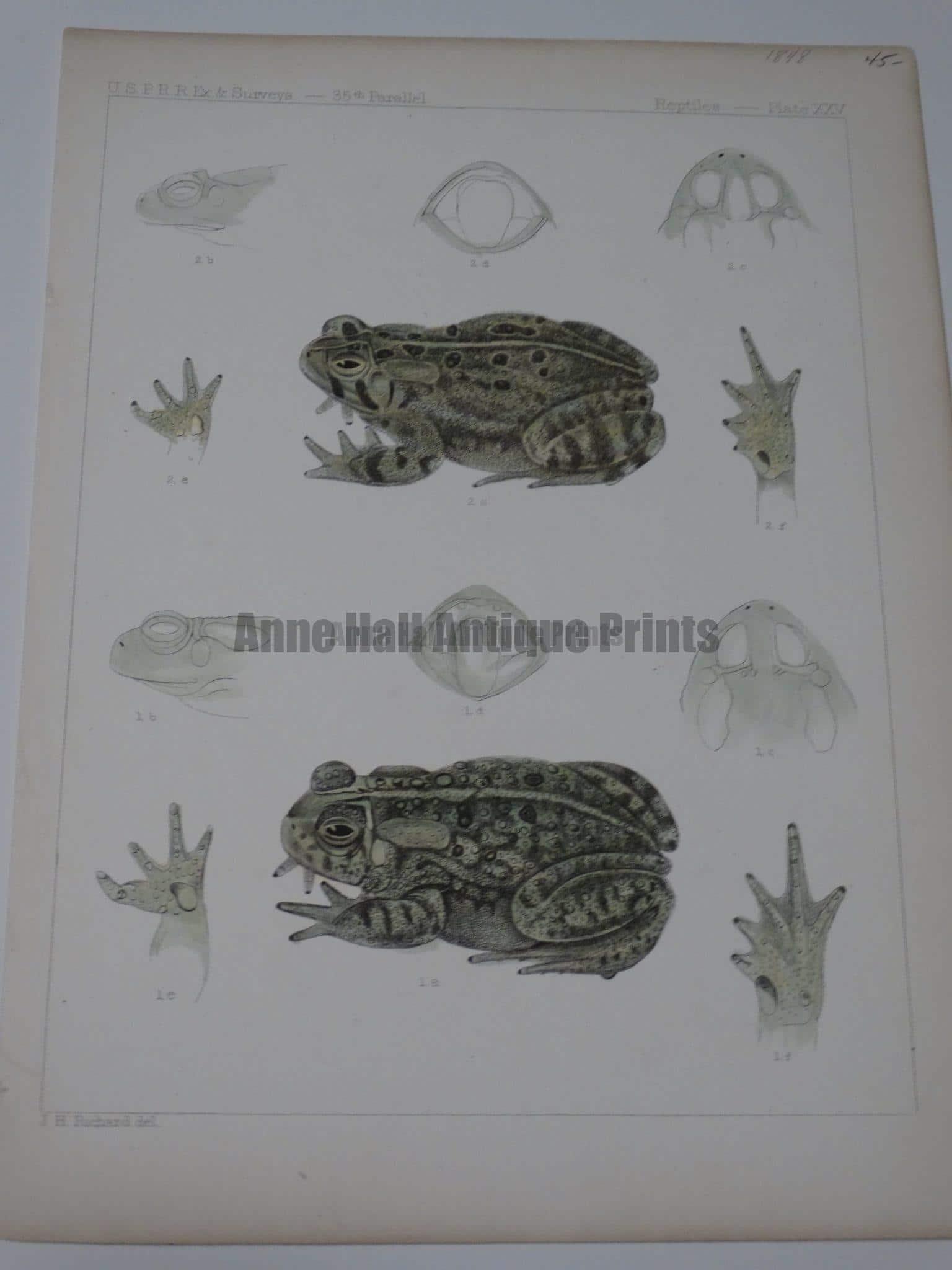 USPRR Frogs Plate XXV $45.