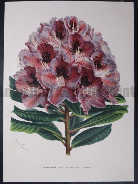 Van Houtteano Rhododendron