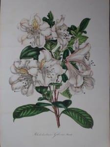Van Houtteano Rhododendrum Gibsonii