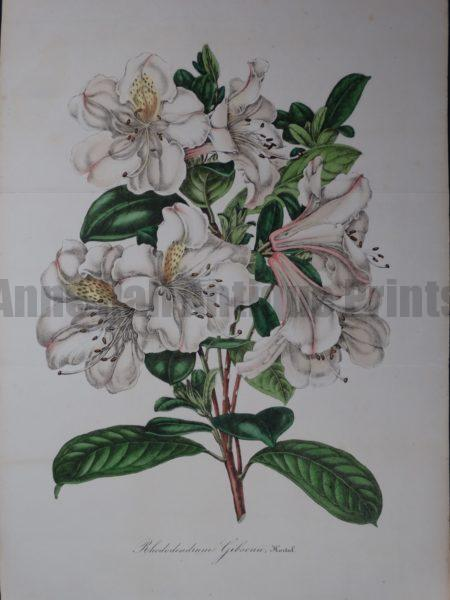 Lovely rhododendron lithograph from Be;gium 1845-1888.