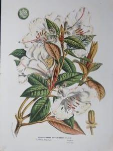 Van Houtteano, Rhododendrun Edge Worthii #797