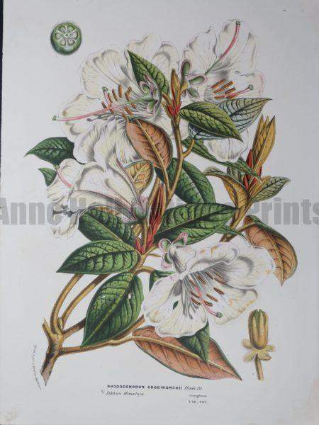 Van Houtteano pink and white Rhododendrun Edge Worthii, an antique lithograph over 100 years of age.
