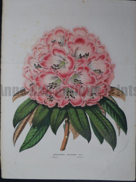 Van Houtteano, Rhododendrun Nilagiricum