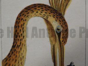 Water Birds Antique Lithographs, Engravings