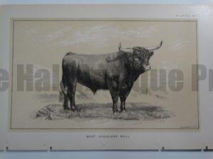 West Highland Bull