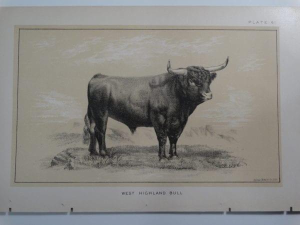 an 1888 lithograph of a West Highland Bull