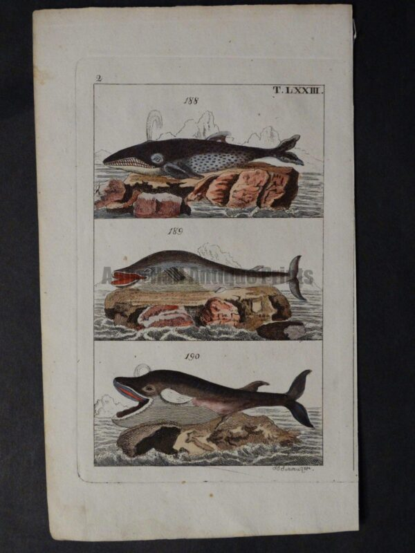 old watercolor whale engraving