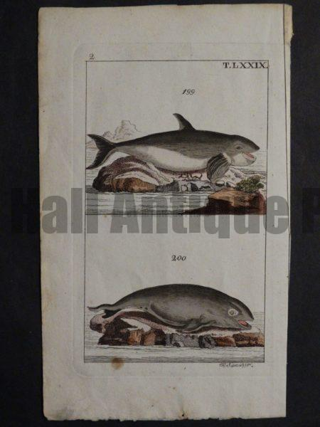 antique orca whale engraving