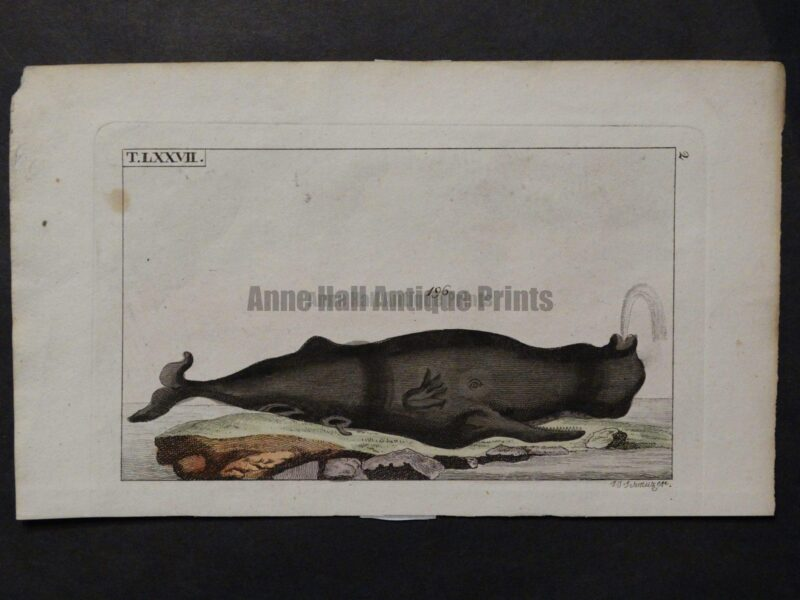 black whale humpback from 1810-21