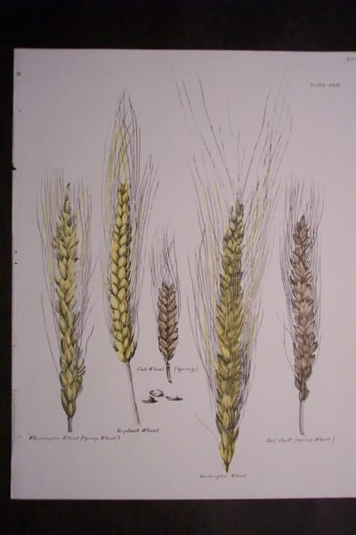 Hand colored lithographs showing different varieties of wheat c.1850. $60.