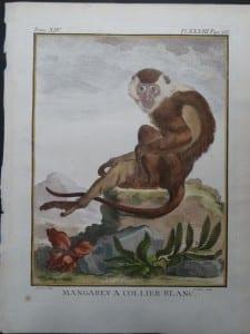 White Collared Monkey
