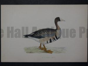 White-Fronted Goose, 1890. $45.