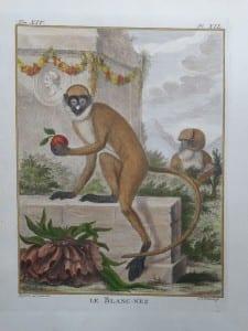 White Nosed Monkey