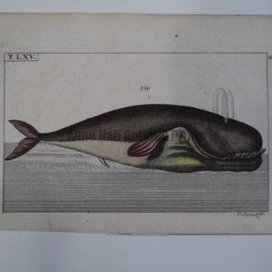 Wilhelm Whales T.LXV.