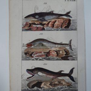 Wilhelm Whales T.LXXIII.