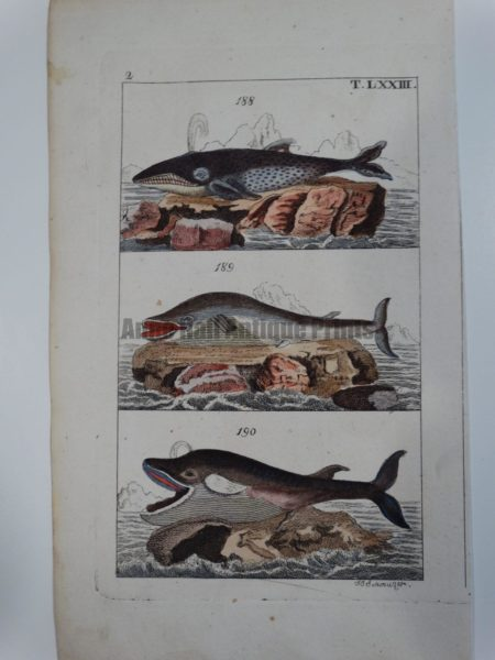 Wilhelm Whales T.LXXIII is a 200 year old engraving of 3 species: Physalus, Boops and Mousculus.