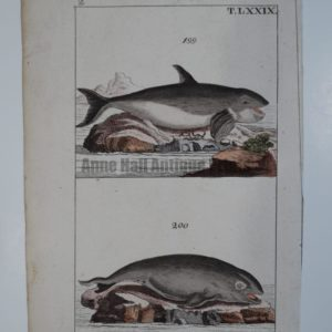 A sourced 1810-21 engraving of Orca or Killer whale, (which actually belongs to the Dolphin Family, with the curved dorsal fin).