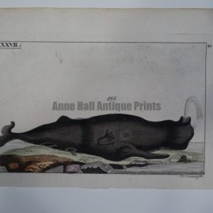 Wilhelm Whales T.LXXVII is a miniature engraving (early 19th century) of a spouting whale, of Catodon Trumpo or North Atlantic Right Whale.