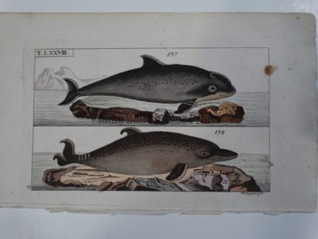 Wilhelm Whales T.LXXVIII. 200 year old engraving depicts 2 species of marine mammals or dolphins: Delphinus Phocaena and Delphis.