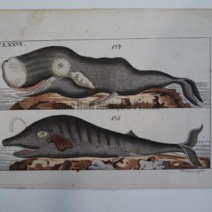 Wilhelm Whales T.LXXVI is a miniature antique engraving of 2 whales, Austrian 1810-1821.