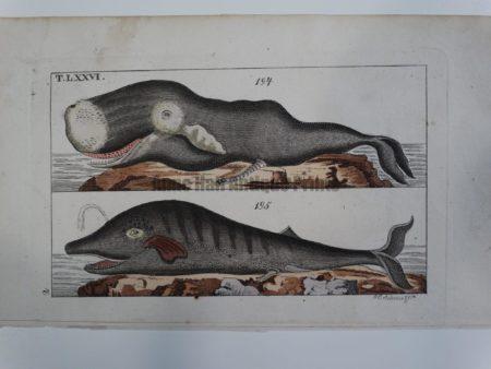 Wilhelm Whales T.LXXVI.