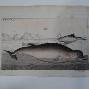Wilhelm Whales T.LXXX.