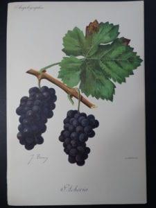 Wine Grapes Accheria