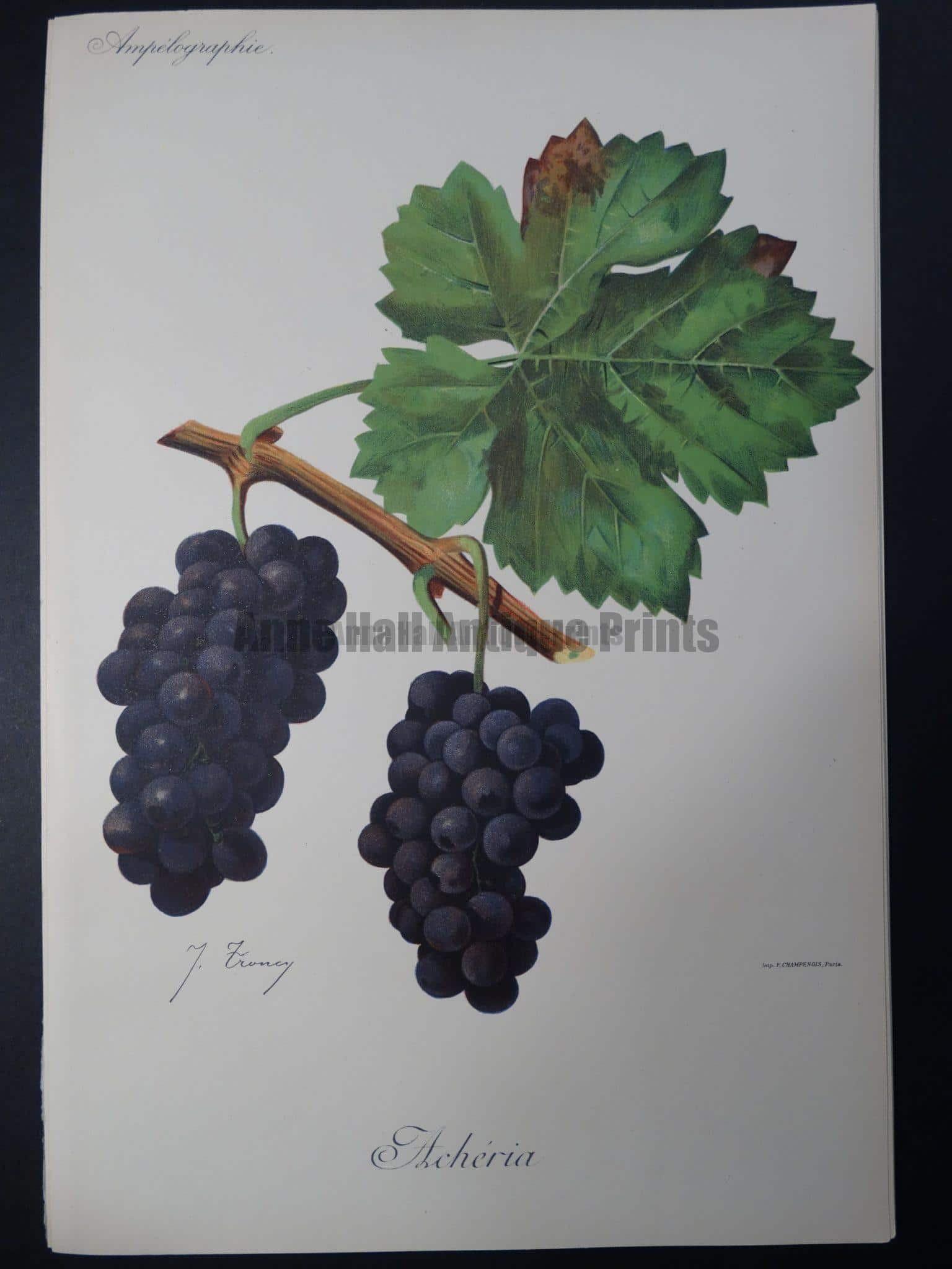 Wine Grapes Accheria