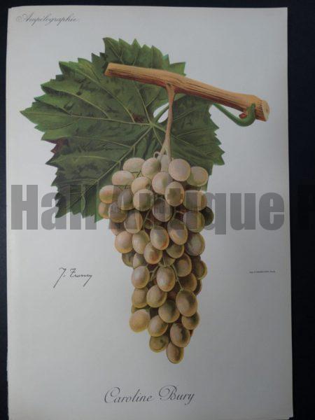 Wine Grapes Caroline Bury