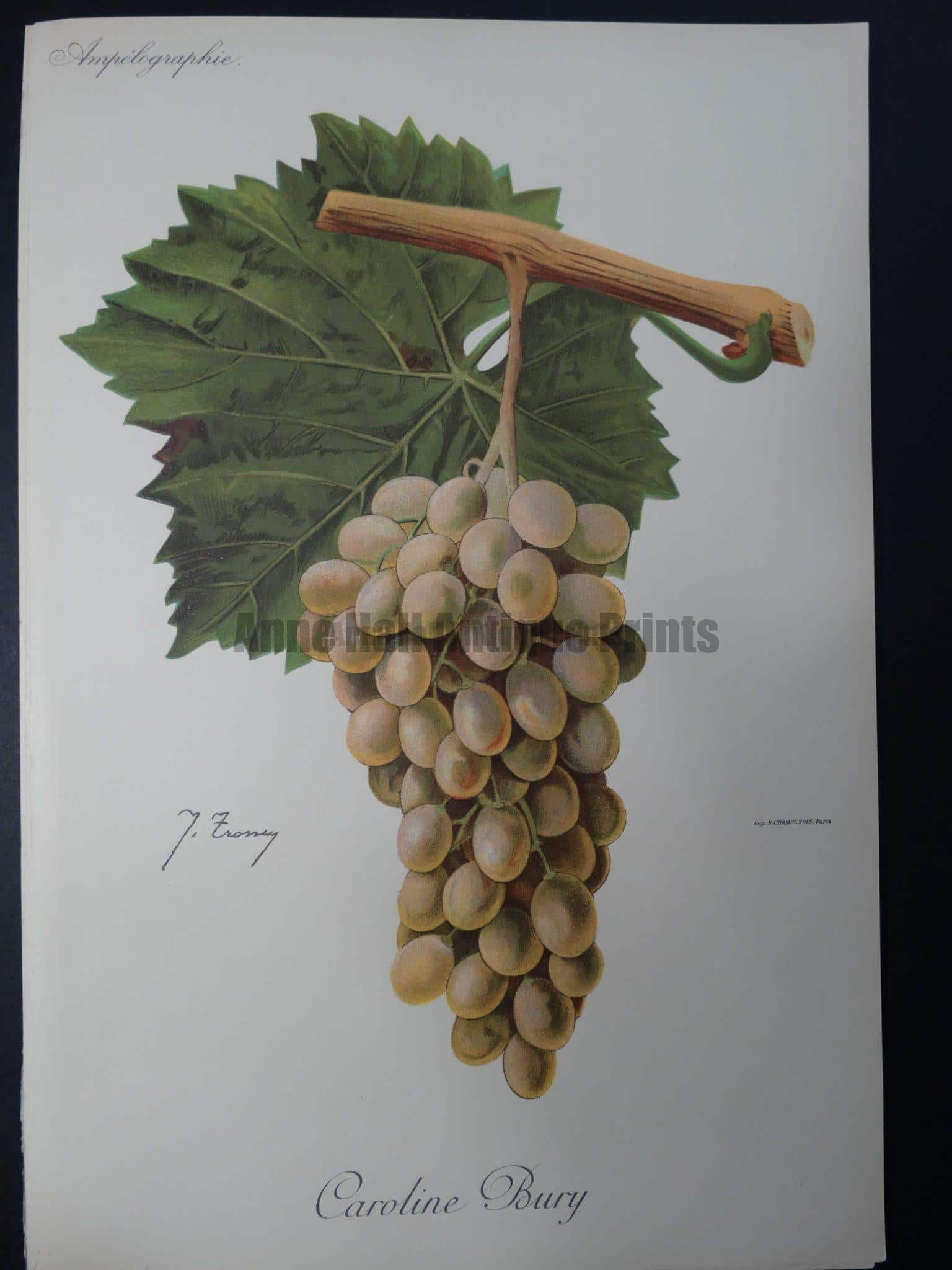 Wine Grapes Caroline Bury