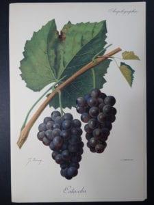Wine Grapes Catawba