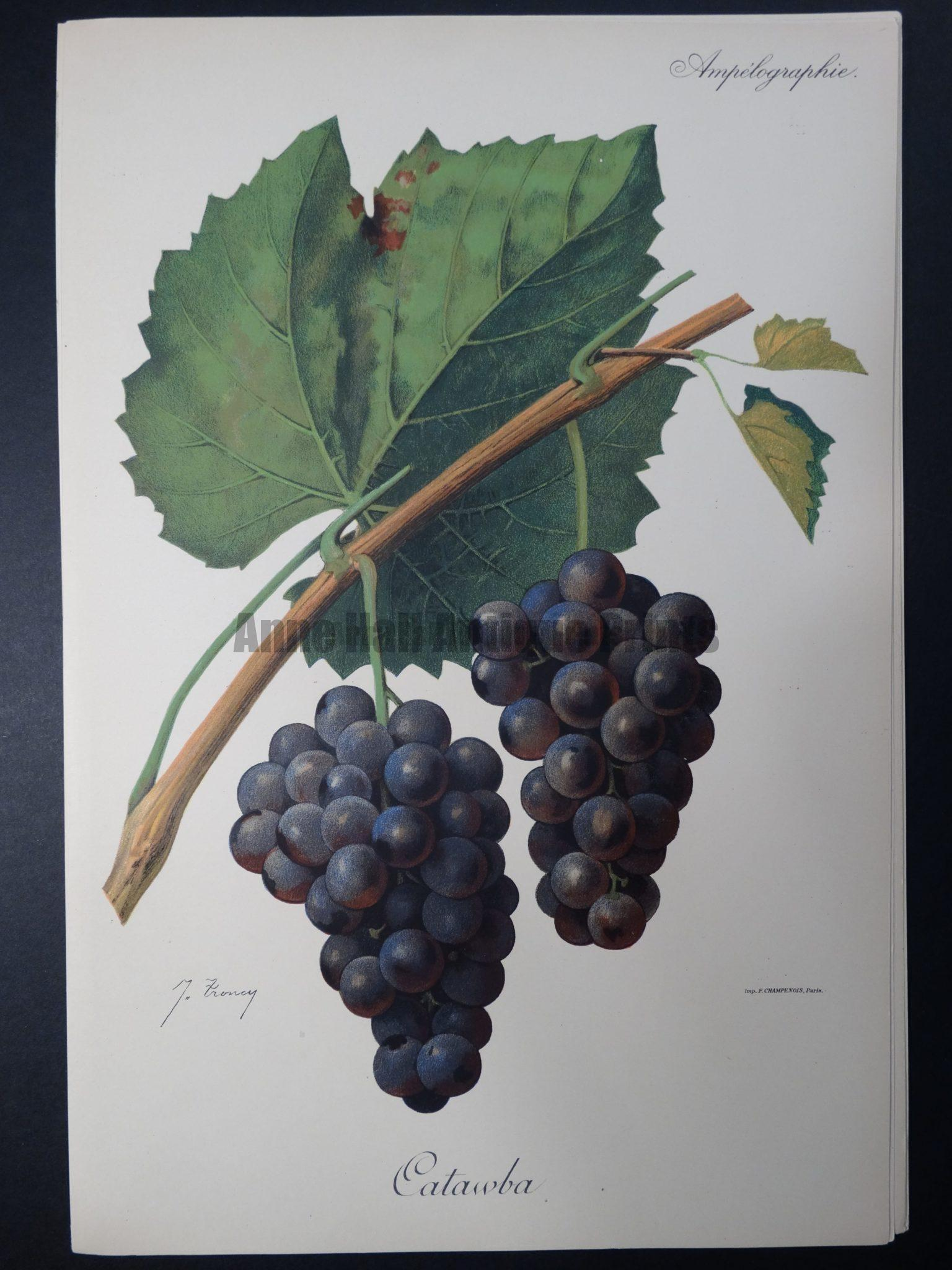 Wine Grapes Catawba