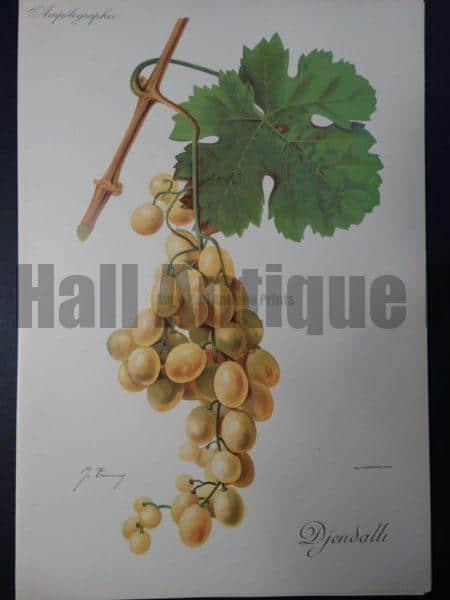 Wine Grapes Djendalli