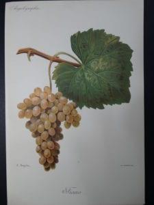 Wine Grapes Fiano