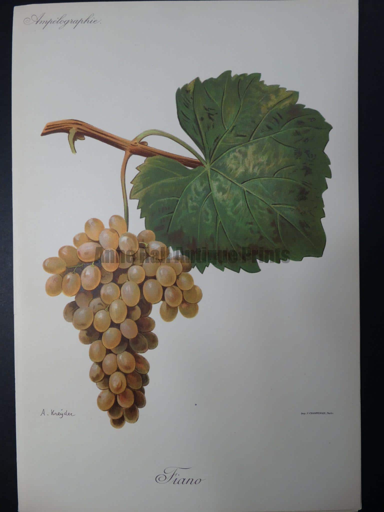 Wine Grapes Fiano