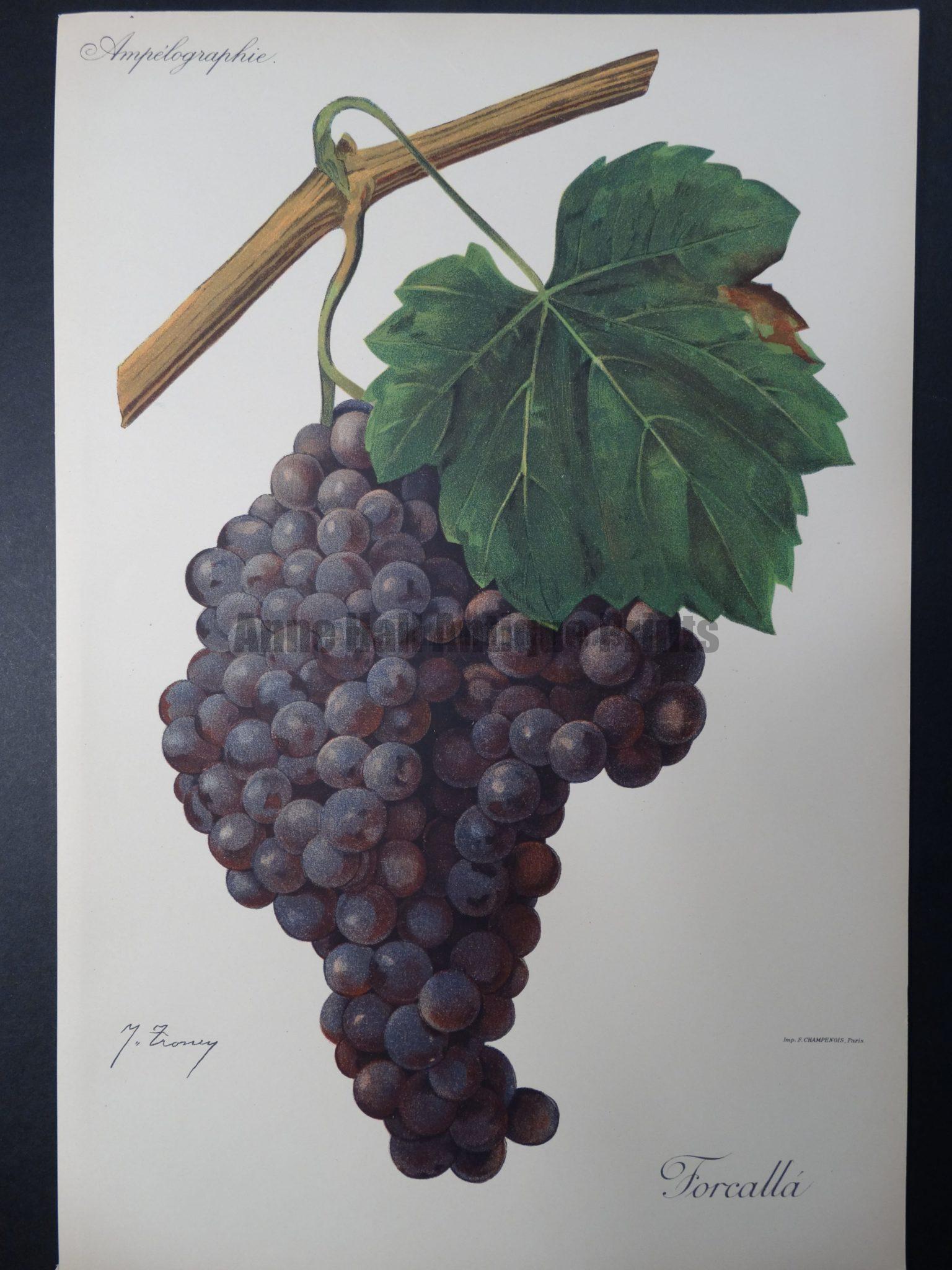Wine Grapes Forcalla