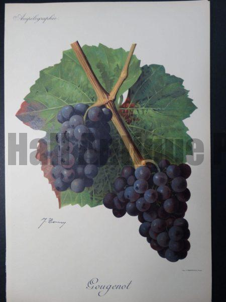 Wine Grapes Gougenot
