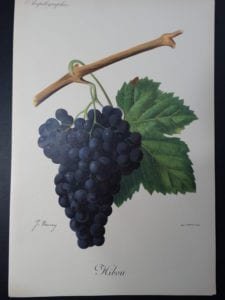 Wine Grapes Hibou