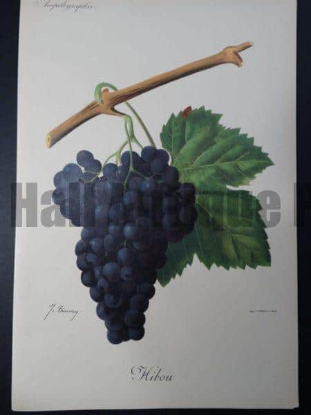 Wine Grapes Hibou
