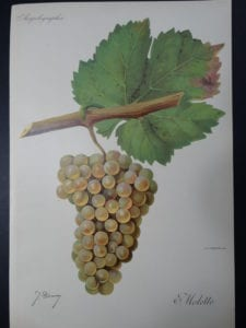 Wine Grapes Molette