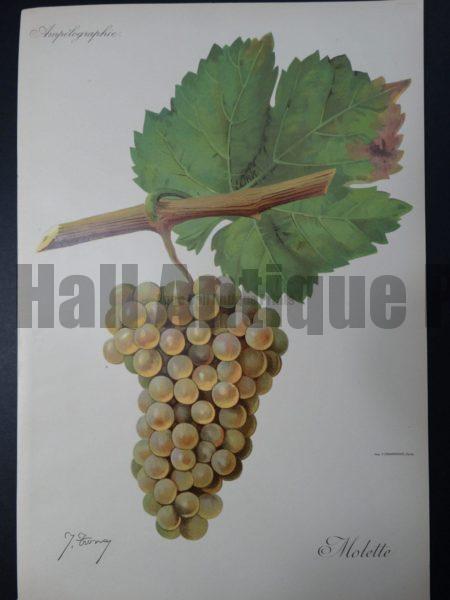 Wine Grapes Molette