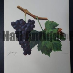 Ampelographie wine grapes lithograph, Servanin variety.