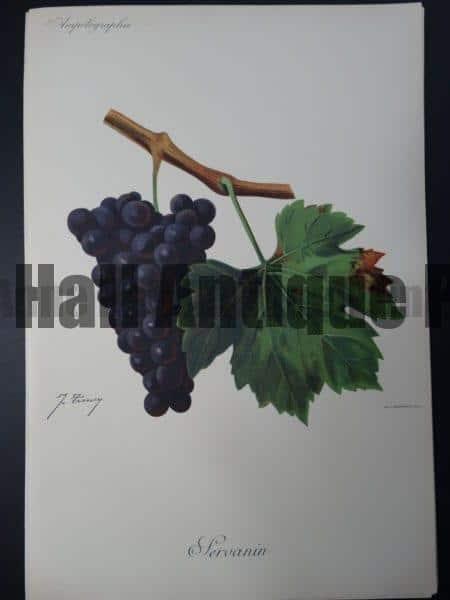 Wine Grapes Servanin