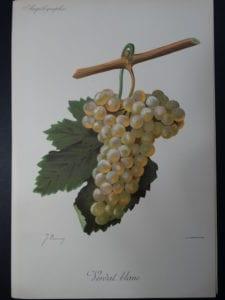 Wine Grapes Verdal Blanc