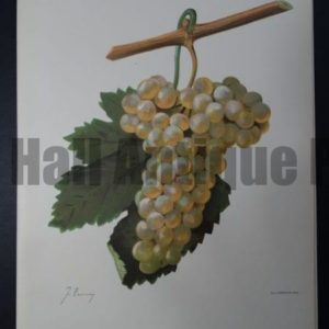 Wine Grapes Verdal Blanc